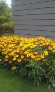 Black-eyed Susans in full bloom.